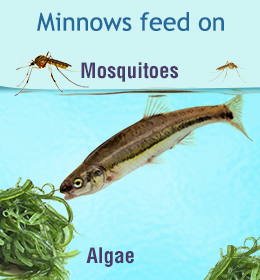 What Do Minnows Eat